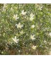 Harmala stepná - Peganum harmala - Stepná ruta - predaj semien rastlín - 30 ks