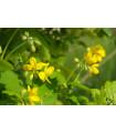 Lastovičník väčší - rastlina Chelidonium majus - semená liečiviek - 30 ks