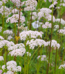Kozlík lekársky - Valeriana officinalis - semená - 0,1 g