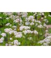 Kozlík lekársky - Valeriana officinalis - semená kozlíka - 120 ks