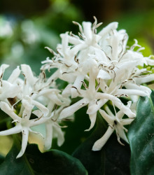 More about Kávovník arabský zakrpatený - Coffea arabica nana - semená kávovníka - 5 ks