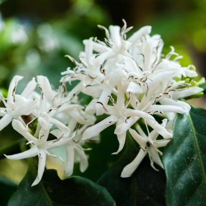 Kávovník arabský zakrpatený - Coffea arabica nana - semená kávovníka - 5 ks