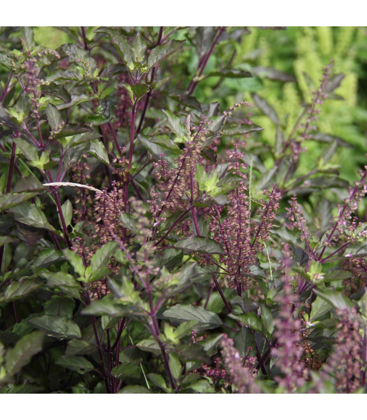 Bazalka posvätná červená - Ocimum tenuiflorum - semená bazalky - 30 ks