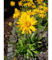 Arnika horská - Arnica montana - semená arniky - semiačka - 13 ks