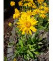 Arnika horská - Arnica montana - semená - 13 ks