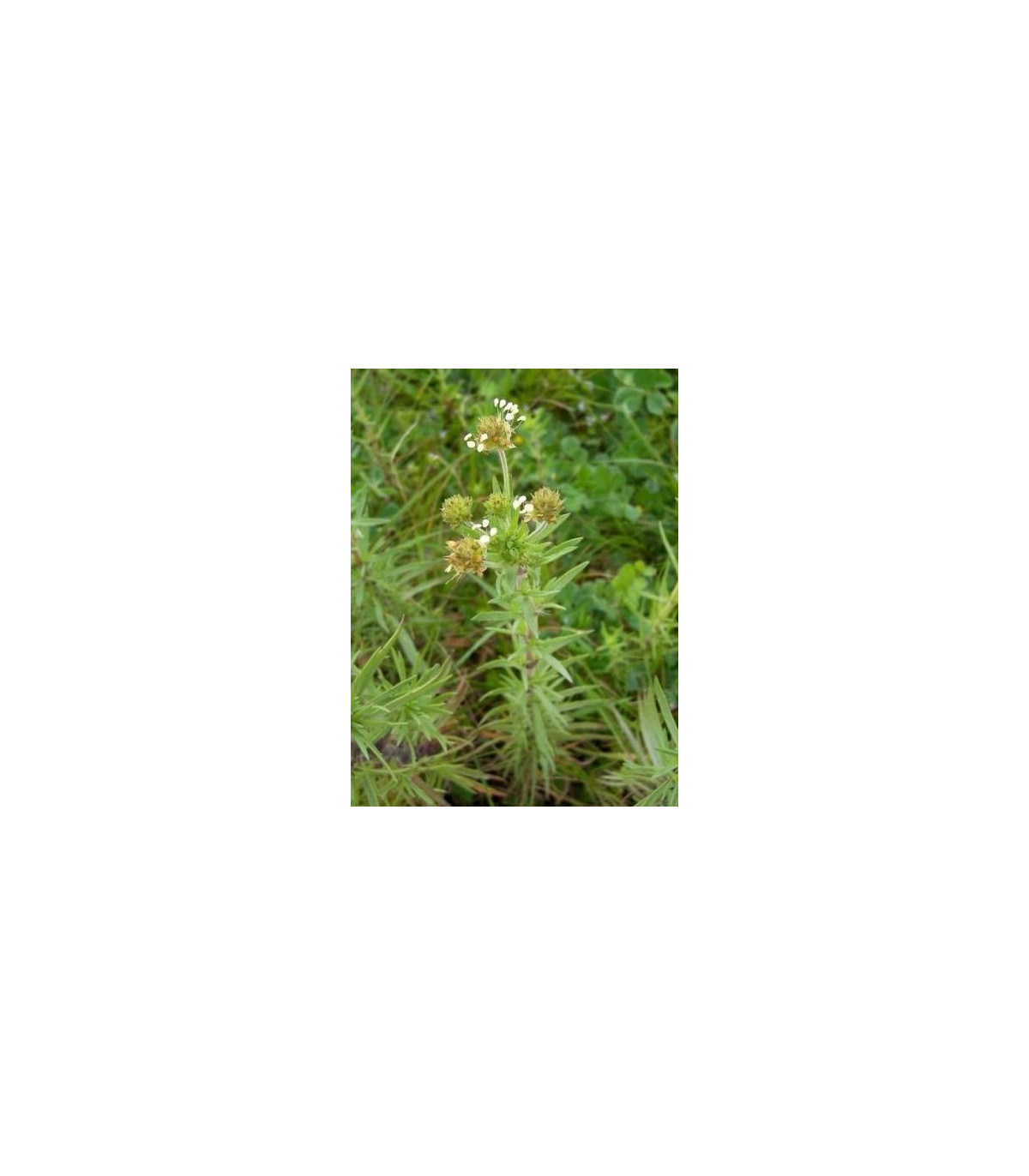 Skorocel indický - Plantago psyllium - semená - 40 ks