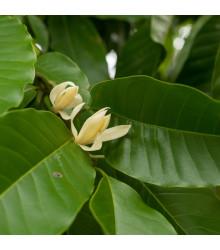 Magnólia champaca - Magnolia champaca - semená magnólie - semiačka - 5 ks