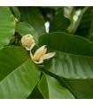 Magnólie champaca - Magnolia champaca - predaj semien - 5 ks