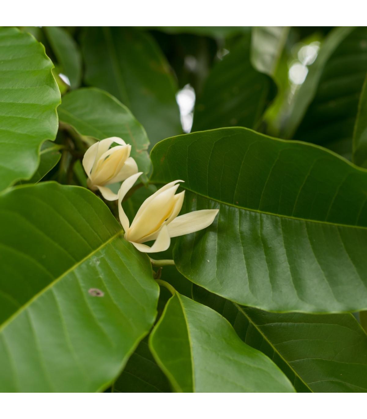 Magnólia champaca - Magnolia champaca - semená magnólie - 5 ks
