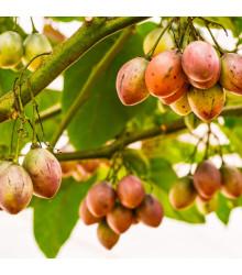 Paradajkový strom - Tamarillo - Cyphomandra betacea - semená - 5 ks