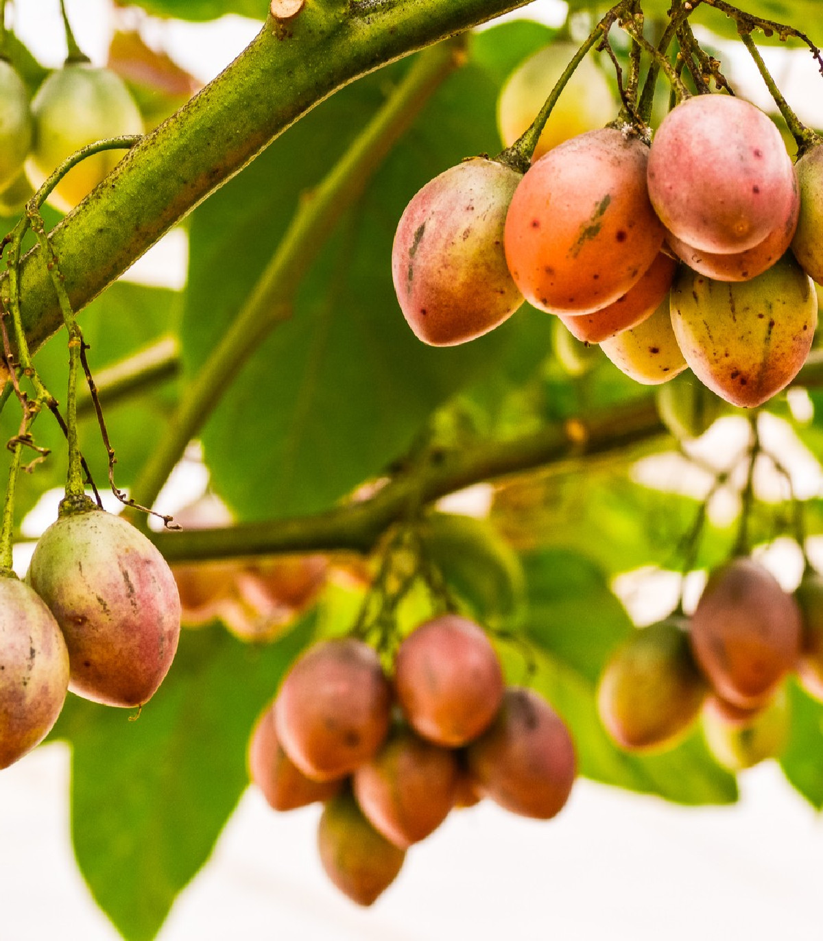 Paradajkový strom - Tamarillo - Cyphomandra betacea - semená tamarilla - 5 ks
