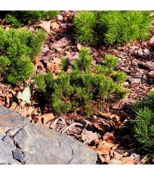 Borovica horská kosodrevina - Pinus mugo pumilio - bonsaj - semená borovice - 5 ks