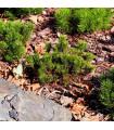 Borovica horská kosodrevina - Pinus mugo pumilio - predaj semien borovice - 5 ks