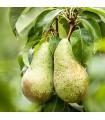Hruška obyčajná - Pyrus communis - predaj semienok hrušky - 4 ks