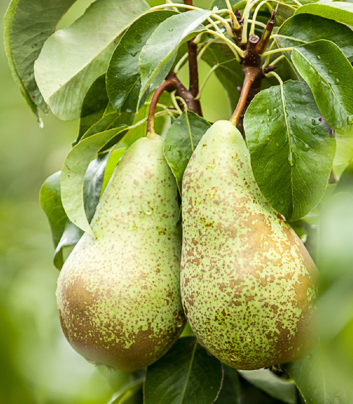 Hruška obyčajná - Pyrus communis - semená hrušky - 4 ks