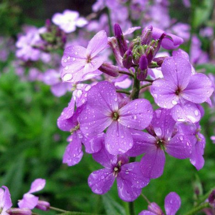 Večernica voňavá - dvojročná rastlina - Hesperis matronalis - semená - 100 ks