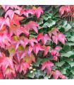 Prísavník trojlaločný - Parthenocissus tricuspidata - predaj semien - popínavé rastliny - 7 ks.