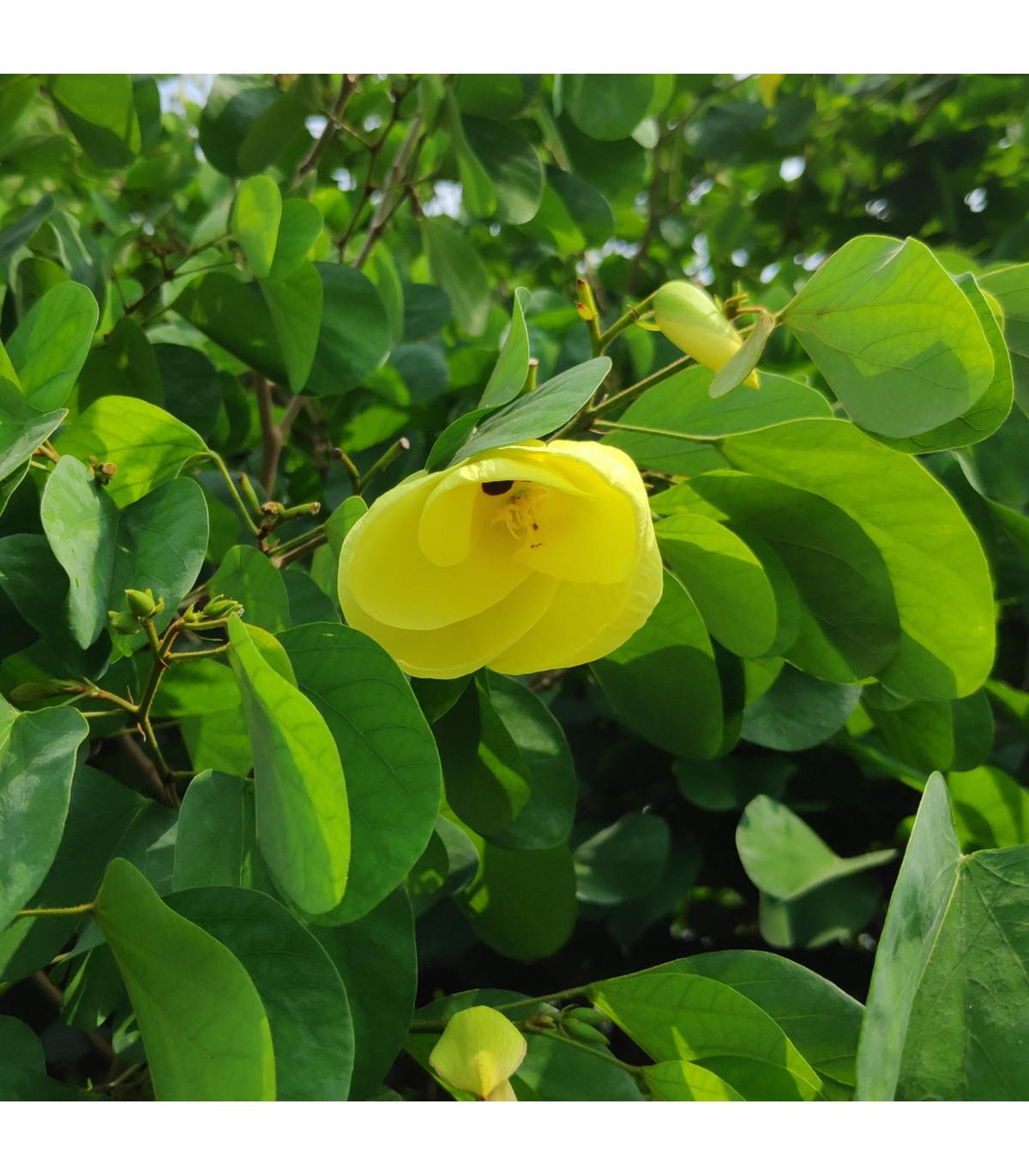 Bauhínia plstnatá - Bauhinia tomentosa - semená bauhínie - 4 ks