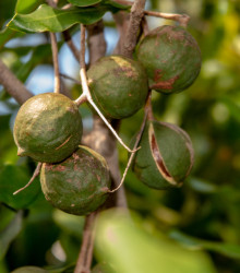 Makadámia - Macademia integrifolia - makadamské oriešky - semená makadámie - 2 ks