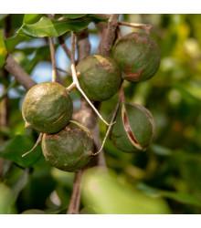Makadámia - Macademia integrifolia - makadamské oriešky - semená - semiačka - 2 ks