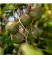 Makadámia - rastlina Macademia integrifolia - makadamské oriešky - semená - 2 ks