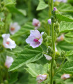 Ibiš lekársky - Althaea officinalis - predaj semien - 18 ks