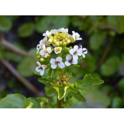 Potočnica lekárska - liečivá rastlina Nasturtium officinale - predaj semien potočnica - 40 ks