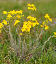Rumanovec farbiarsky - Anthemis tinctoria - semená - 0,5 g