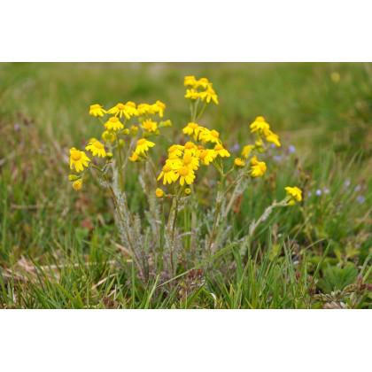 Harmanček rímsky - Anthemis tinctoria - predaj semien harmančeka rímskeho - 0,2 gr