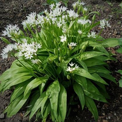 Cesnak medvedí - Allium ursinum - semená cesnaku - 7 ks