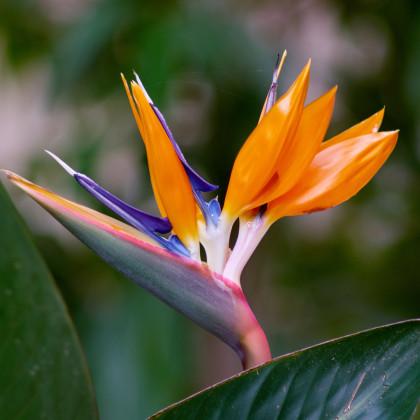 Strelícia kráľovská - Strelitzia reginae - semená - 2 ks