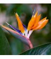 Strelícia kráľovská - rastlina Strelitzia reginae - predaj semien - 2 ks