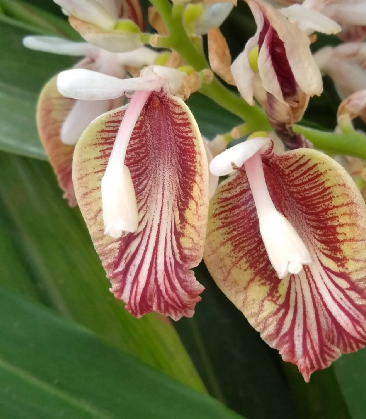 Kardamovník šípový čierny - predaj semien - Amomum subulatum - 5 ks