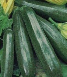BIO Cuketa F1 Partenón - Cucurbita pepo - semená cukety - semiačka - 5 ks