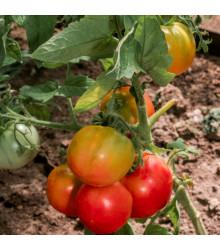BIO paradajka kolíková Taste F1 - Lycopersicon esculentum - rajčiak - semená - 10 ks
