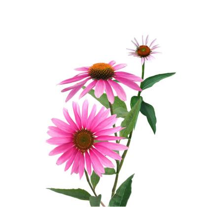 Rudbekia/Echinacea
