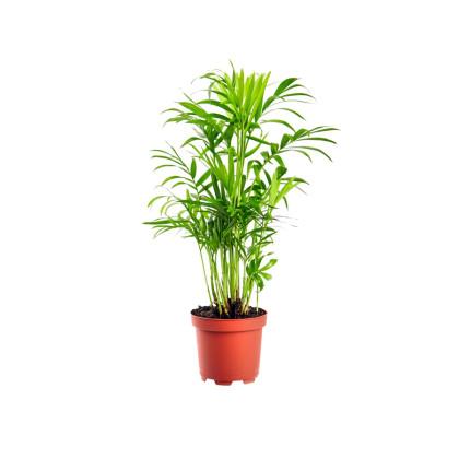 Ostatné palmy