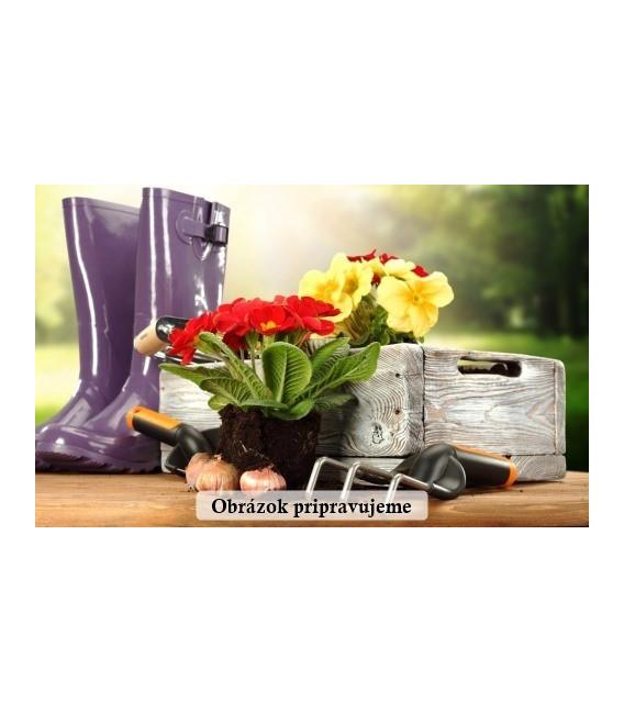 Cibuľa jarná kuchynská Všetana - Allium cepa - semená - 200 ks